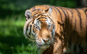 Picture greens, look, face, light, tiger, background, portrait