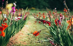 Picture summer, flowers, garden, red, flowerbed, path, a lot, different, bokeh, gladiolus