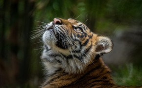Picture look, face, tiger, the dark background, portrait, tiger, young, bokeh, tiger, looking up