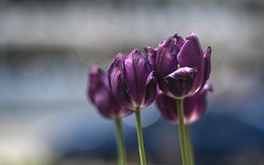 Picture flowers, background, purple, tulips, buds, bokeh