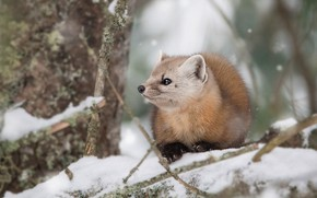 Picture winter, look, snow, branches, tree, sweetheart, muzzle, lies, snowfall, marten