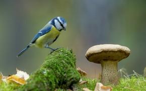 Picture nature, background, bird, mushroom, moss, tit, blue tit, Andrey Kiselev