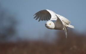 Picture flight, owl, bird, white, polar, snowy owl