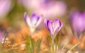 Picture light, flowers, blur, spring, crocuses, pink, lilac, bokeh