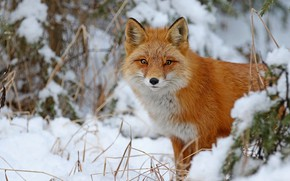 Picture winter, forest, look, snow, branches, nature, portrait, Fox, the snow, red, face