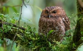 Picture greens, owl, bird, branch, Совка голоногая