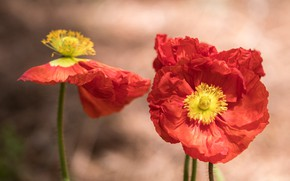 Picture macro, flowers, background, Mac, Maki, petals, red, a couple, Duo, bokeh