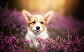 Picture look, dog, puppy, face, Heather, Welsh Corgi
