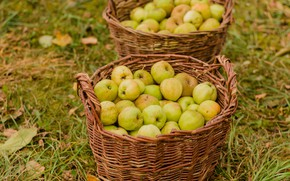 Picture apples, harvest, collection, basket