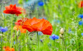 Picture summer, Maki, meadow, cornflowers