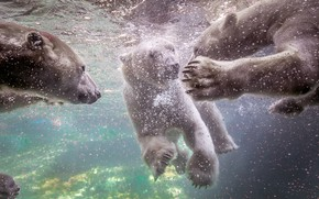 Picture water, bears, white, swimming