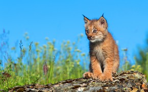 Picture the sky, log, lynx, a small lynx