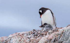 Picture birds, penguins, Chicks