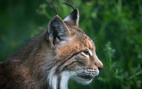 Picture greens, grass, look, face, nature, background, portrait, profile, lynx, wild cat, bokeh