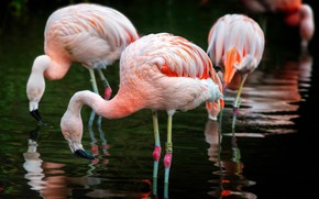 Picture birds, pink, Flamingo, pond