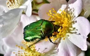 Picture summer, macro, flowers, green, beetle, spring, briar, insect, white, brilliant, brantovka Golden