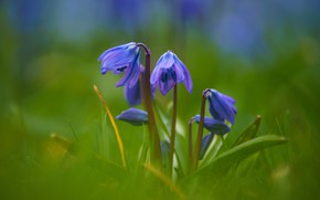 Picture greens, leaves, flowers, blur, spring, blue, blue, Scilla