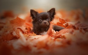 Picture autumn, look, leaves, nature, background, foliage, portrait, dog, puppy, face, dog, Chihuahua, brown