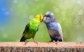 Picture birds, background, kiss, pair, parrots, a couple, two, bokeh, parrots, wavy, two parrots