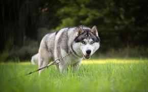 Picture grass, look, face, nature, pose, Park, lawn, foliage, dog, chain, leash, walk, husky, bokeh, Siberian …