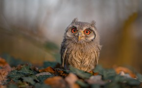 Picture leaves, background, owl, bird, bokeh, White-faced scoop