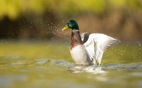 Picture wings, swimming, duck, squirt, bokeh, pond, bird, stroke