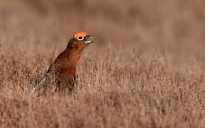 Picture field, grass, the sun, nature, bird, bokeh, England, partridge, Peak District, the grouse, South Yorkshire, ...