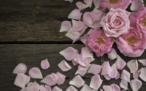 Picture roses, petals, pink, wood, pink, flowers, petals, roses