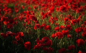 Picture summer, flowers, Maki, red, a lot, bokeh, poppy field