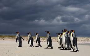 Picture birds, clouds, shore, penguins