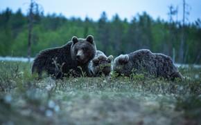 Picture bears, Trinity, the three bears