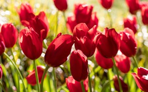 Picture drops, light, flowers, spring, tulips, red, buds, flowerbed, a lot, bokeh
