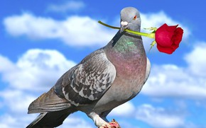 Picture the sky, rose, dove