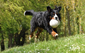 Picture forest, summer, grass, look, face, light, flight, nature, pose, jump, the game, the ball, dog, …