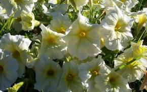 Picture summer, flowers, yellow, petunias, Meduzanol ©