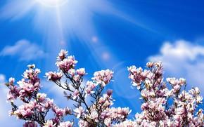 Picture the sun, spring, petals, flowering, Magnolia