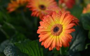 Picture leaves, drops, macro, flowers, orange, gerbera, bokeh