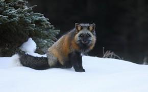 Picture winter, snow, Fox, Fox