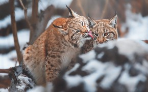 Picture winter, language, look, snow, trees, branches, pose, stone, lynx, lynx, muzzle, bokeh, sitting, a small …