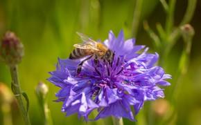 Picture flower, macro, bee, cornflower