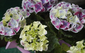 Picture close-up, inflorescence, hydrangea
