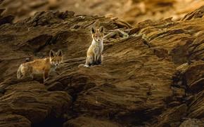 Picture nature, animals, Fox