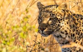 Picture grass, look, face, light, portrait, leopard