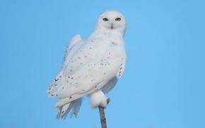 Picture owl, bird, blue sky, snowy owl