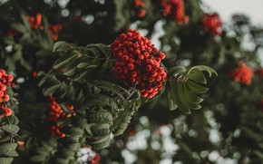 Picture autumn, leaves, branches, berries, the dark background, background, tree, fruit, red, Rowan, bunches, bokeh, bunches …