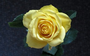 Picture flower, rose, yellow rose