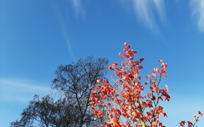 Picture trees, autumn, tree, sky blue, red leaves, fall leaves, tree with red leaves