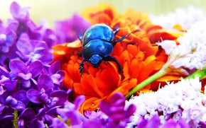 Picture summer, macro, flowers, blue, background, black, bright, beetle, bouquet, insect, pink, orange, lilac, bug, brilliant