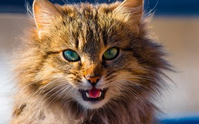 Picture muzzle, meows, fluffy cat