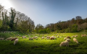 Picture greens, field, nature, sheep, pasture, meadow, sheep, cattle, the herd, sheep, flock, sheep, a flock ...